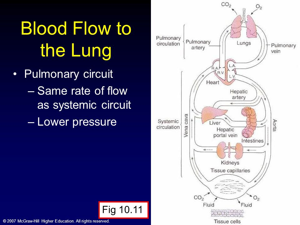 © 2007 McGraw-Hill Higher Education. All rights reserved. Blood Flow to the Lung Pulmonary circuit –Same rate of flow as systemic circuit –Lower press
