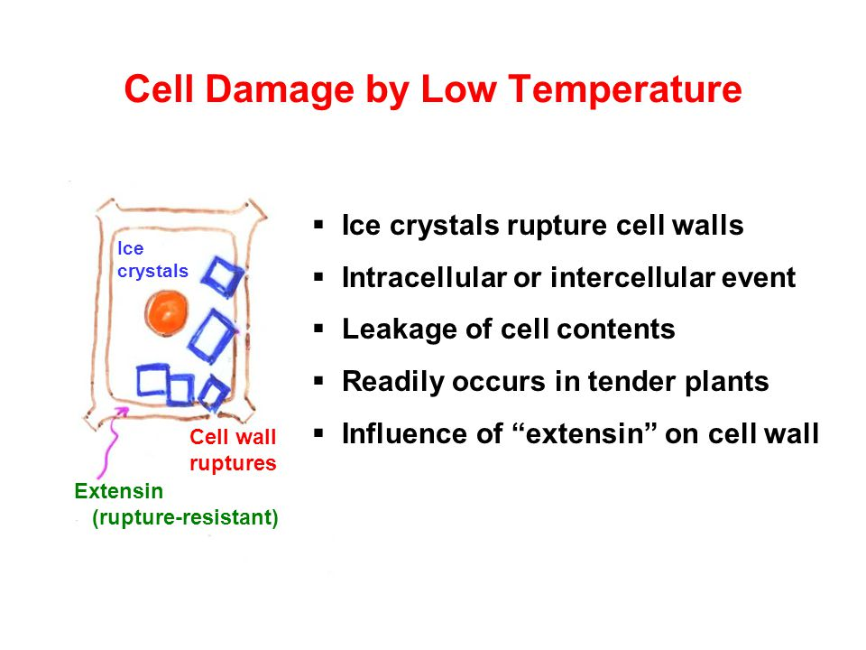 Cell Damage by Low Temperature  Ice crystals rupture cell walls  Intracellular or intercellular event  Leakage of cell contents  Readily occurs in tender plants  Influence of extensin on cell wall Ice crystals Cell wall ruptures Extensin (rupture-resistant)