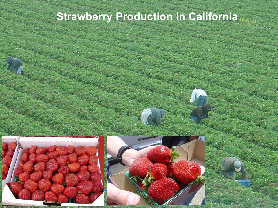 Strawberry Production in California