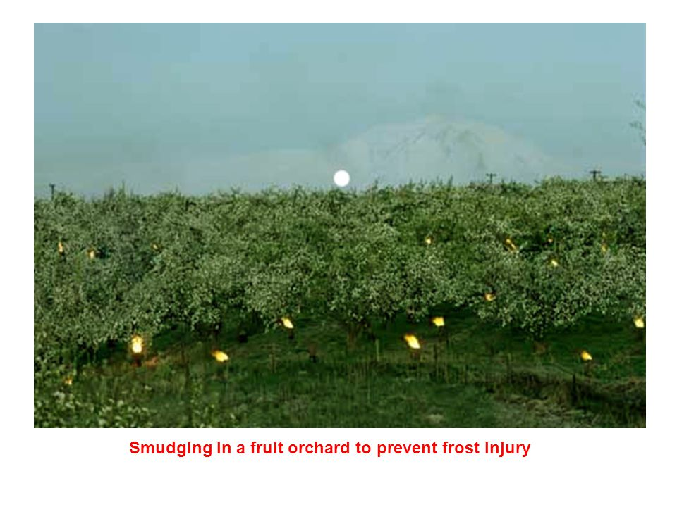 Smudging in a fruit orchard to prevent frost injury