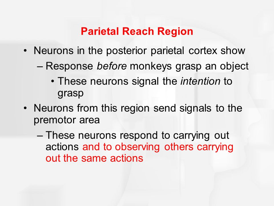 Parietal Reach Region Neurons in the posterior parietal cortex show –Response before monkeys grasp an object These neurons signal the intention to grasp Neurons from this region send signals to the premotor area –These neurons respond to carrying out actions and to observing others carrying out the same actions