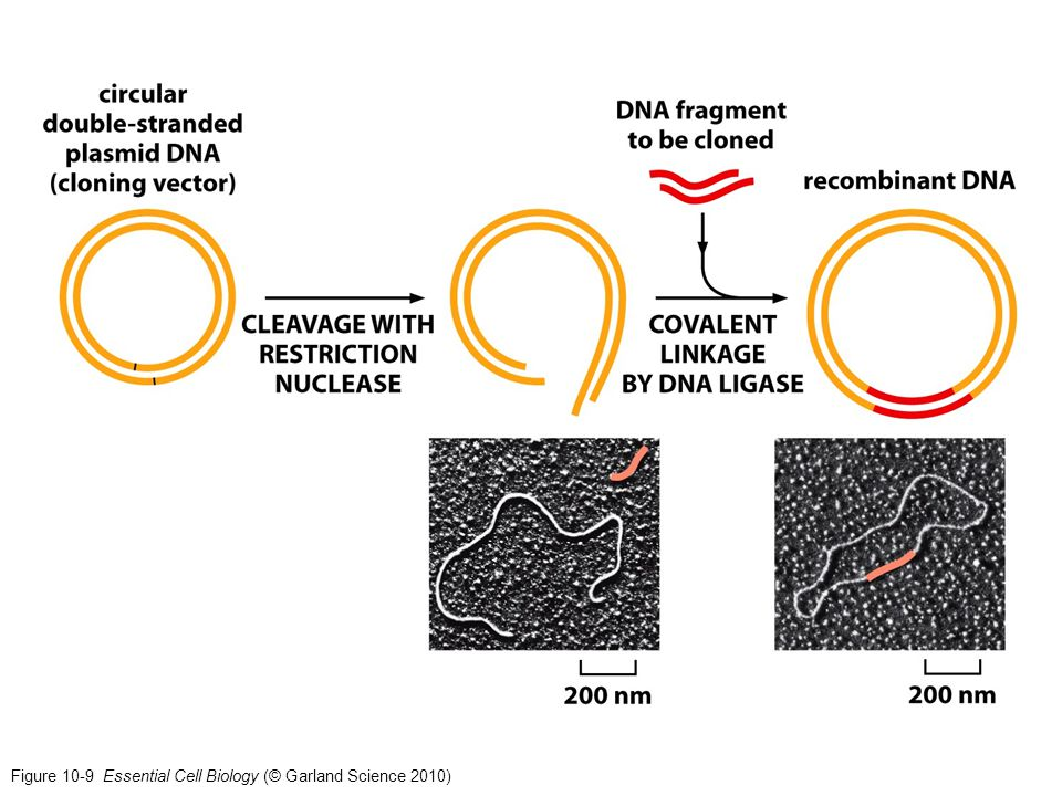 Figure 10-9 Essential Cell Biology (© Garland Science 2010)