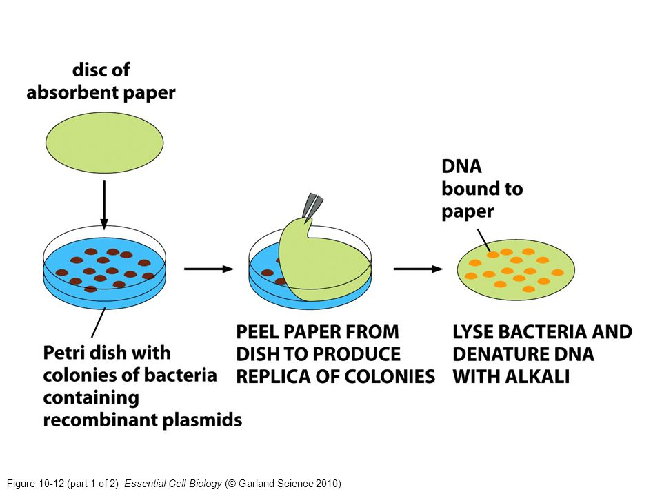 Figure 10-12 (part 1 of 2) Essential Cell Biology (© Garland Science 2010)
