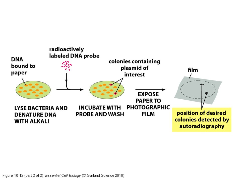 Figure 10-12 (part 2 of 2) Essential Cell Biology (© Garland Science 2010)
