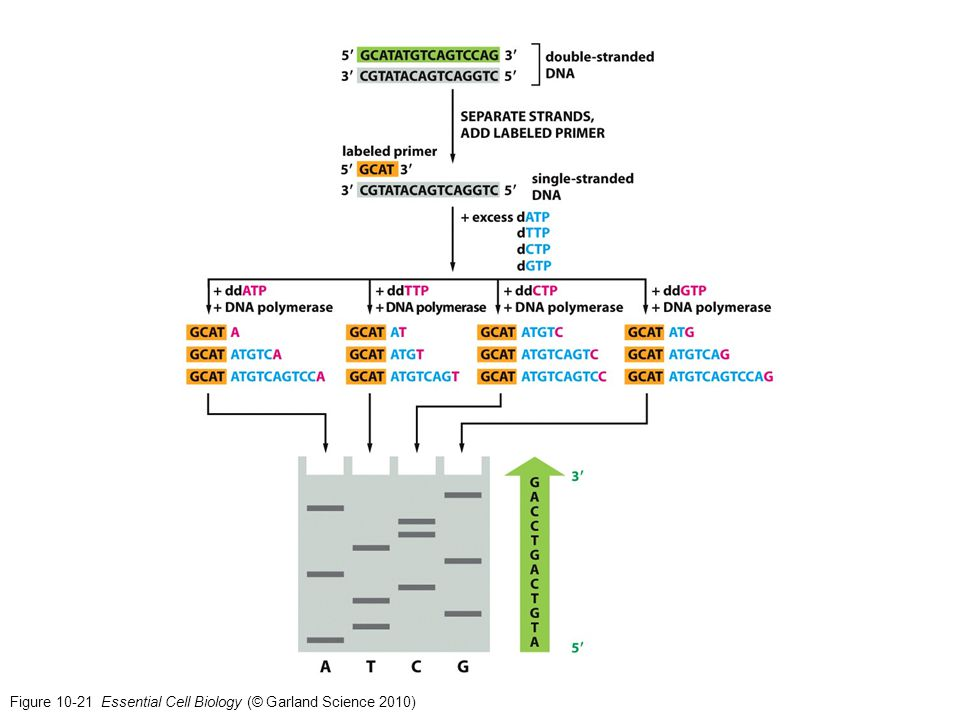Figure 10-21 Essential Cell Biology (© Garland Science 2010)