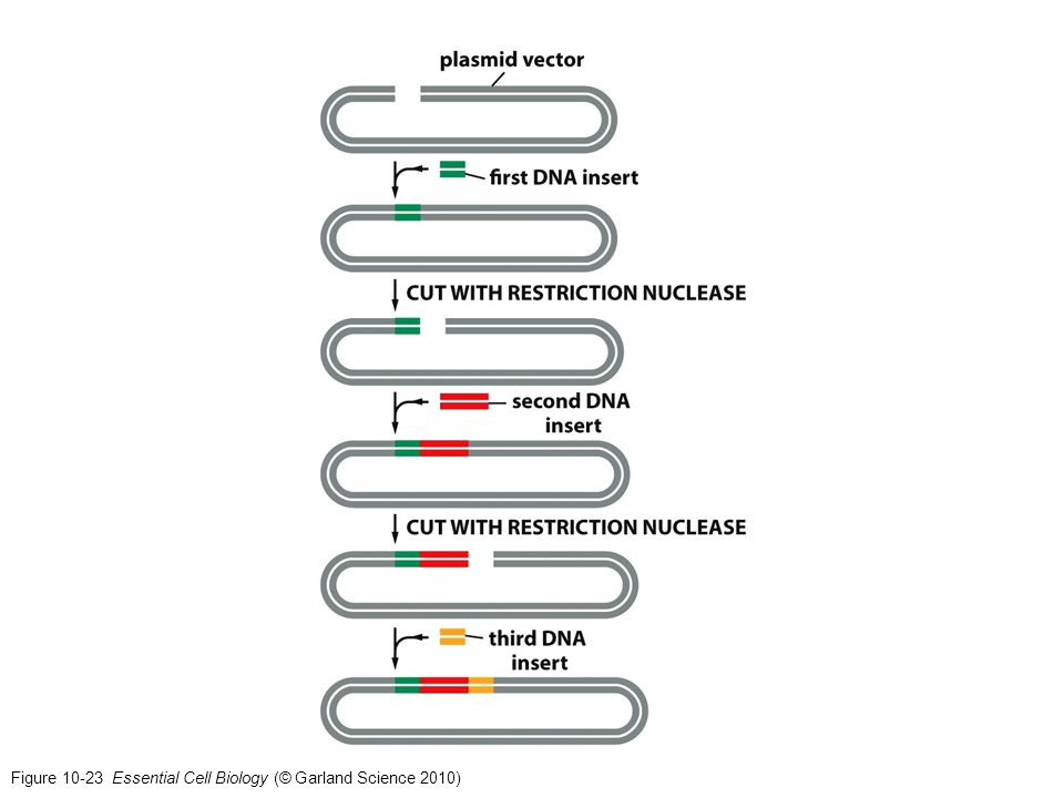 Figure 10-23 Essential Cell Biology (© Garland Science 2010)