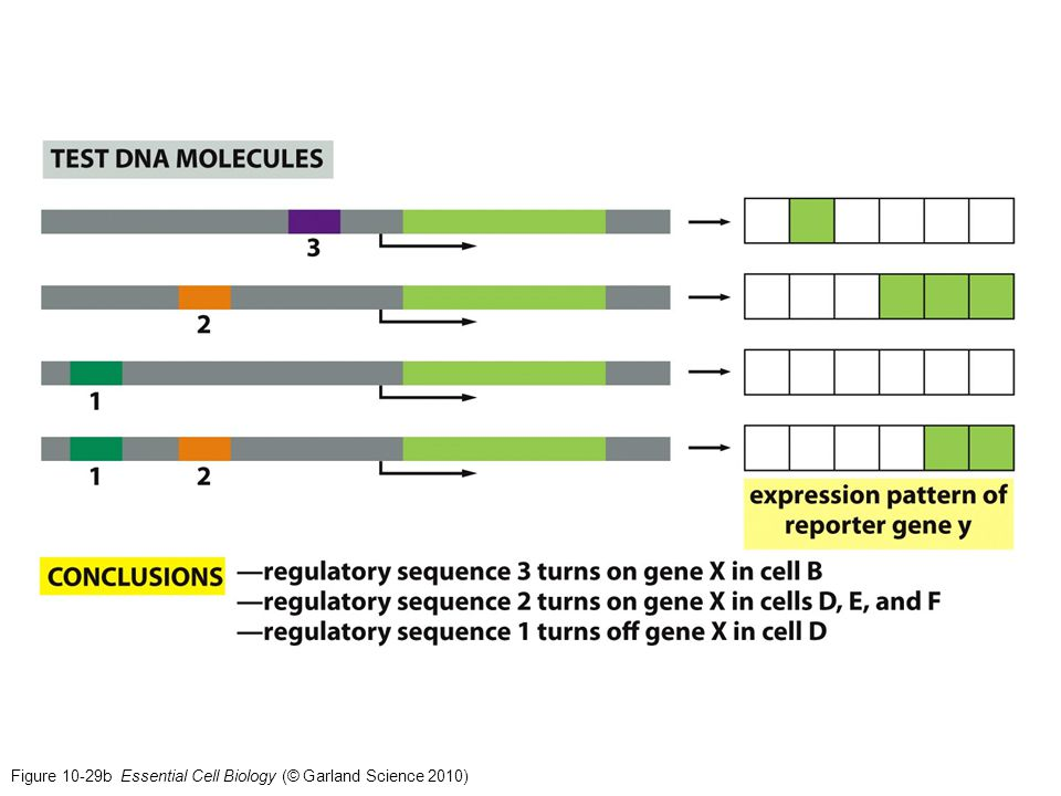 Figure 10-29b Essential Cell Biology (© Garland Science 2010)