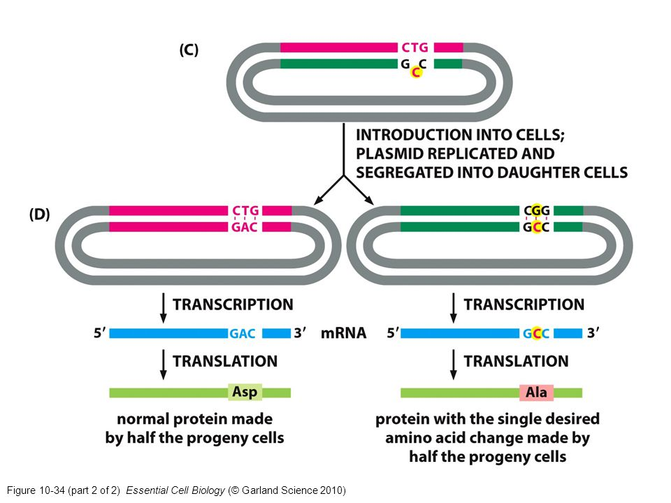 Figure 10-34 (part 2 of 2) Essential Cell Biology (© Garland Science 2010)