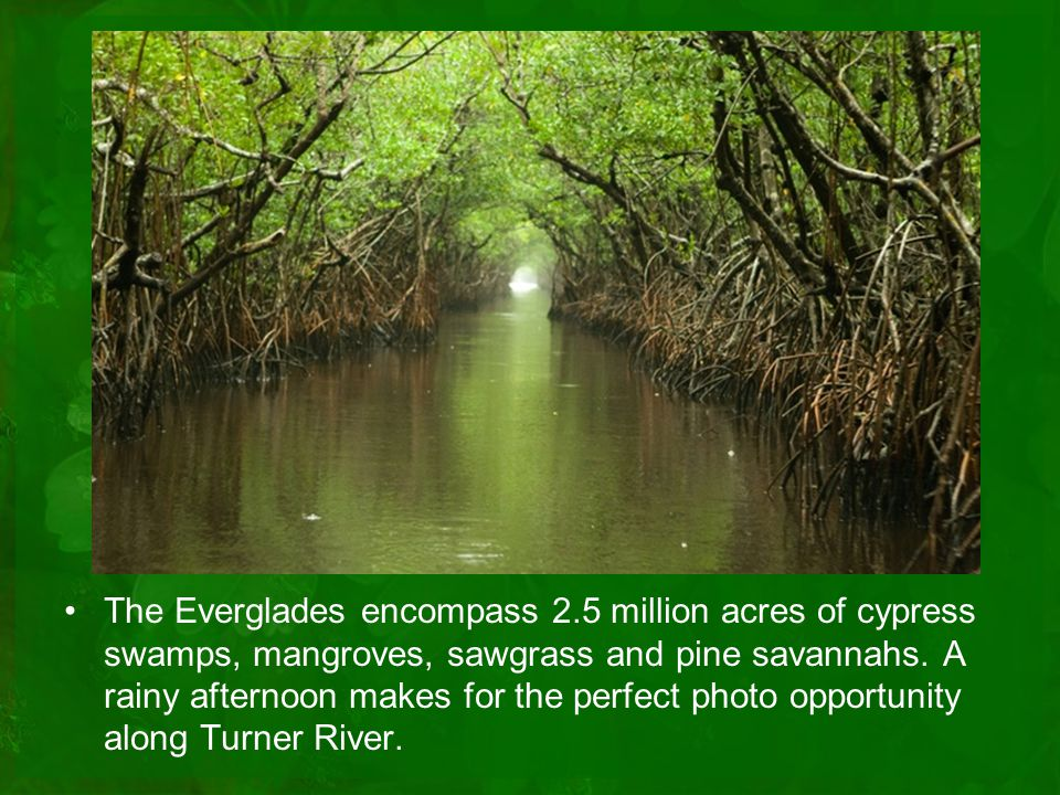 The Everglades encompass 2.5 million acres of cypress swamps, mangroves, sawgrass and pine savannahs.
