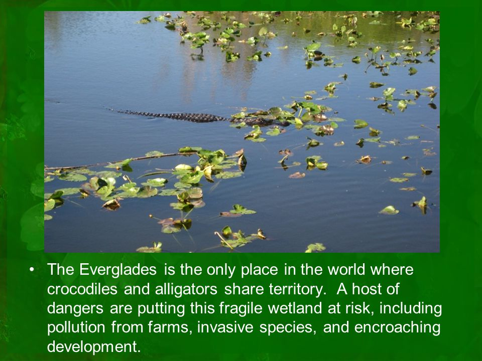 The Everglades is the only place in the world where crocodiles and alligators share territory.