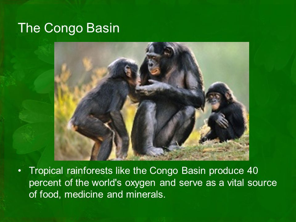 Tropical rainforests like that of the Congo Basin produce 40 percent of the world s oxygen and serve as a vital source of food, medicine and minerals.