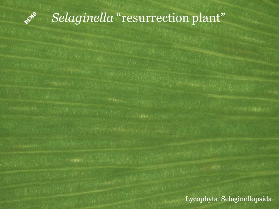 " Selaginella ""resurrection plant"" Lycophyta: Selaginellopsida"