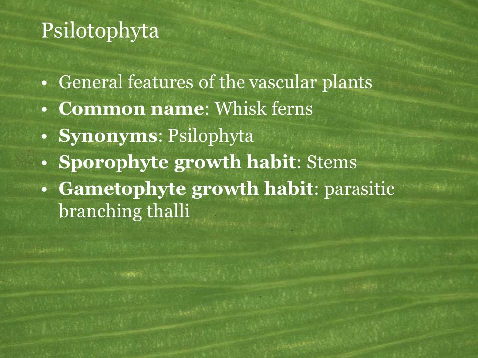 Psilotophyta General features of the vascular plants Common name: Whisk ferns Synonyms: Psilophyta Sporophyte growth habit: Stems Gametophyte growth h