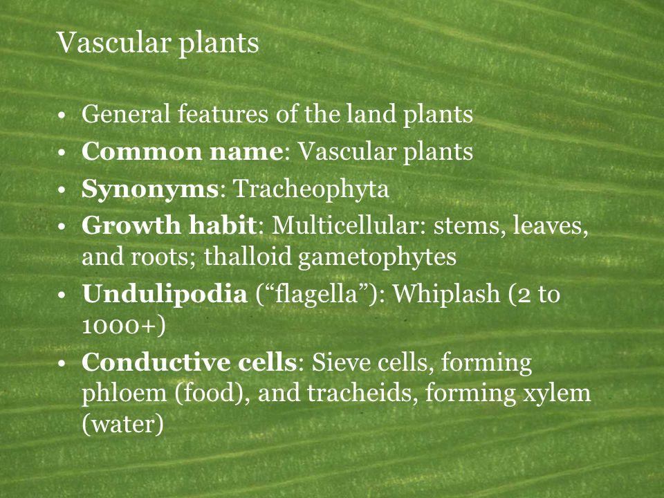  Selaginella strobilus Lycophyta: Selaginellopsida