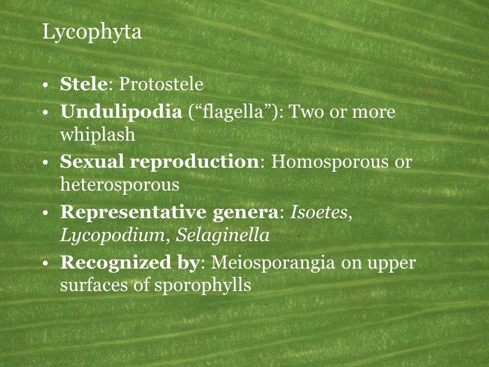  Lycopodium Lycophyta: Lycopodiopsida