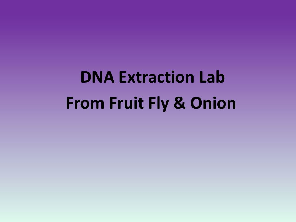 DNA Extraction Lab From Fruit Fly & Onion