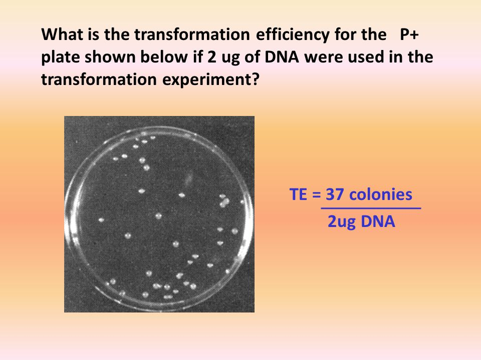 What is the transformation efficiency for the P+ plate shown below if 2 ug of DNA were used in the transformation experiment.