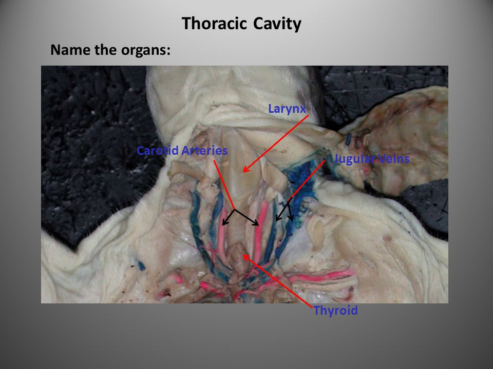 Thoracic Cavity Name the organs: Larynx Carotid Arteries Jugular Veins Thyroid