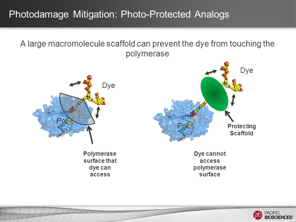 Pol Protecting Scaffold Dye Pol Polymerase surface that dye can access Dye cannot access polymerase surface Photodamage Mitigation: Photo-Protected An