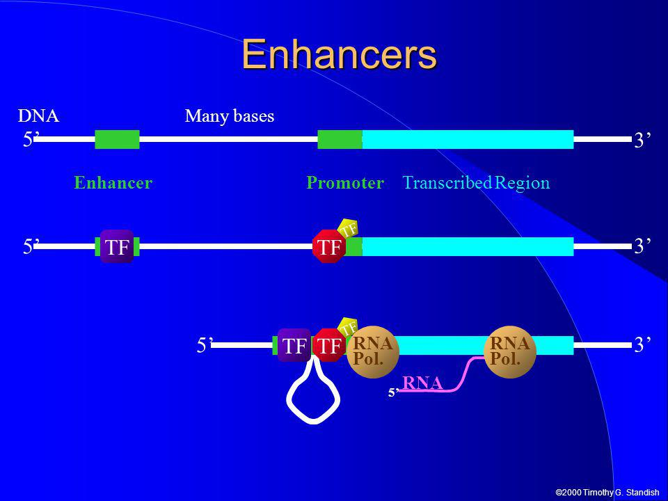 ©2000 Timothy G. Standish 5' DNA 3' Enhancers EnhancerTranscribed Region 3' 5' TF 3' 5' TF 5' RNA Pol. RNA Pol. Many bases Promoter