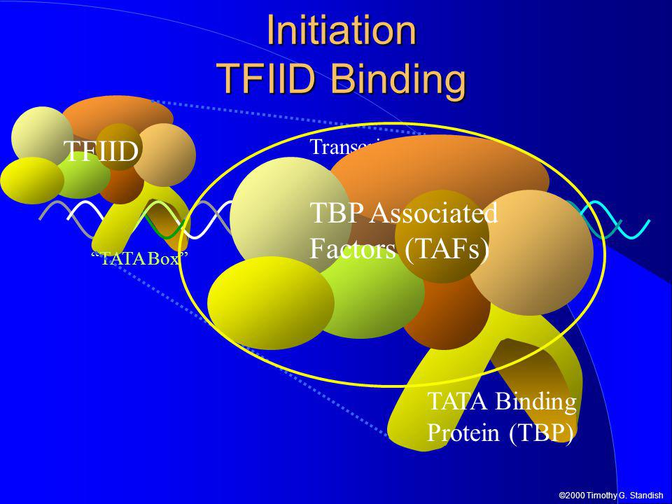 "©2000 Timothy G. Standish Initiation TFIID Binding -1+1 Transcription start site TFIID ""TATA Box"" TBP Associated Factors (TAFs) TATA Binding Protein ("
