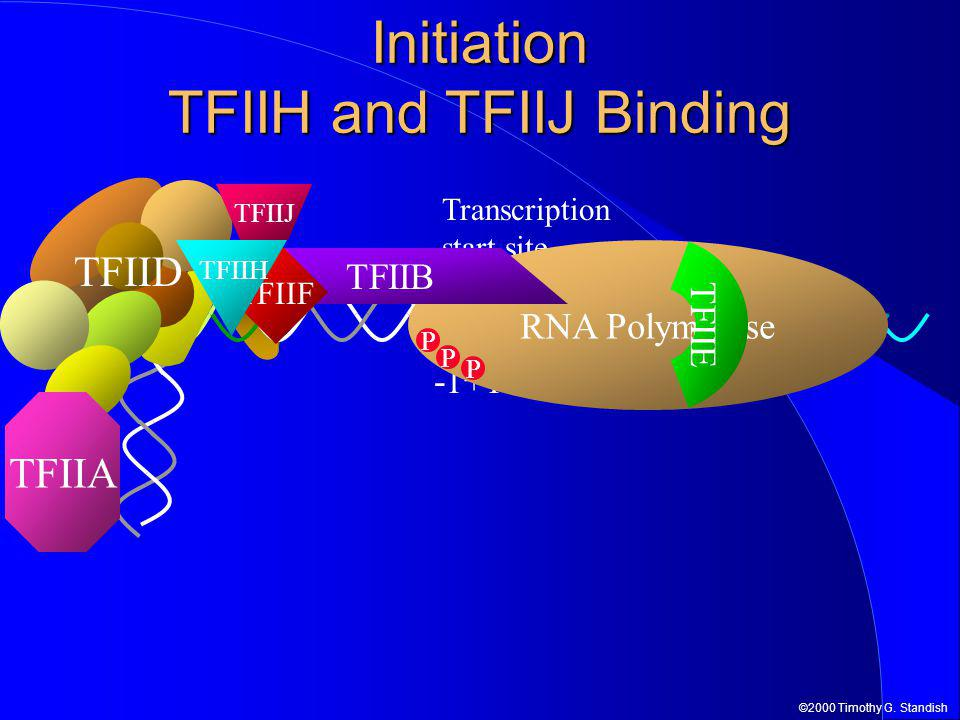 ©2000 Timothy G. Standish Initiation TFIIH and TFIIJ Binding TFIID TFIIA -1+1 Transcription start site RNA Polymerase TFIIB TFIIF TFIIE TFIIH P P P TF
