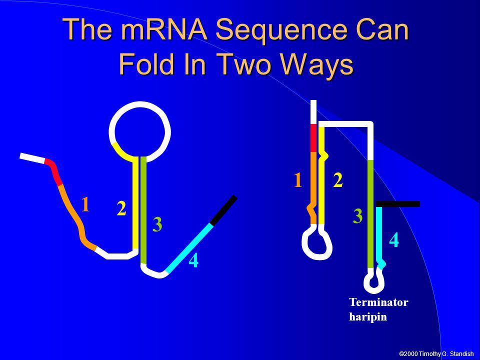 ©2000 Timothy G. Standish The mRNA Sequence Can Fold In Two Ways 4 1 2 3 Terminator haripin 4 12 3