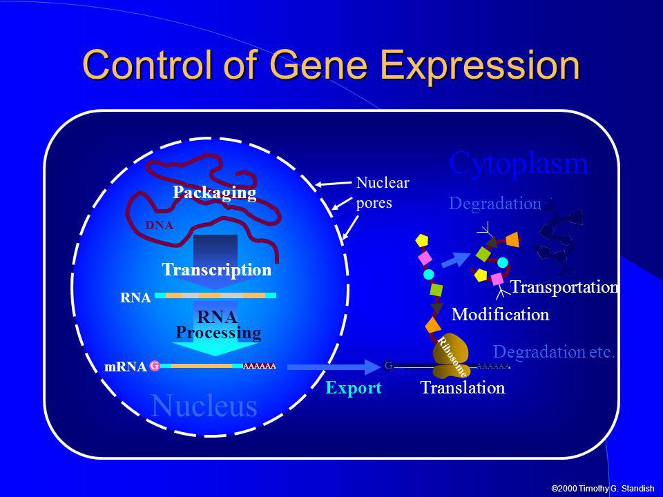 ©2000 Timothy G. Standish DNA Cytoplasm Nucleus G AAAAAA Export Degradation etc. G AAAAAA Control of Gene Expression G AAAAAA RNA Processing mRNA RNA