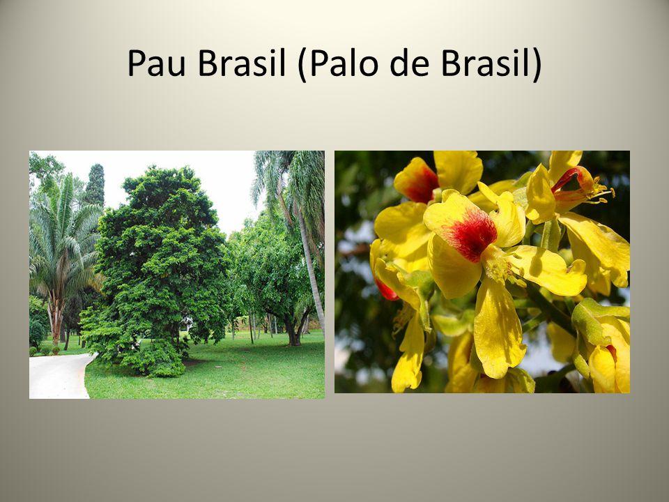 Pau Brasil (Palo de Brasil)