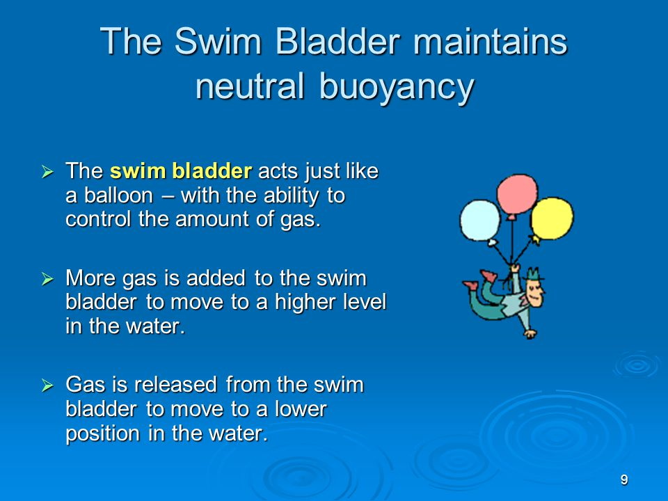 9 The Swim Bladder maintains neutral buoyancy  The swim bladder acts just like a balloon – with the ability to control the amount of gas.