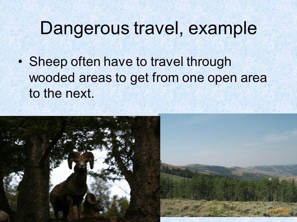 Dangerous travel, example Sheep often have to travel through wooded areas to get from one open area to the next.