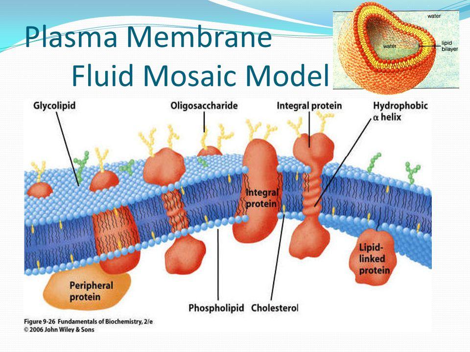 Plasma Membrane Fluid Mosaic Model