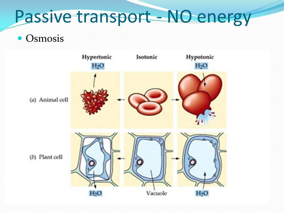 Passive transport- NO energy Osmosis