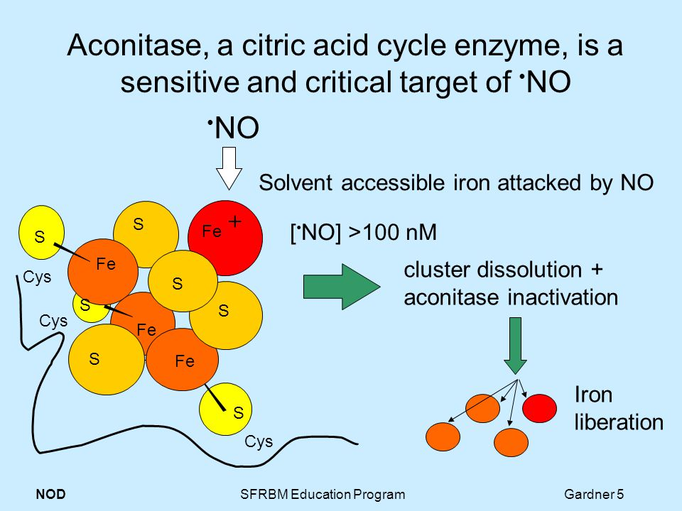 NOD SFRBM Education Program Gardner 5 Aconitase, a citric acid cycle enzyme, is a sensitive and critical target of NO NO Cys S Fe cluster dissolution + aconitase inactivation S S S + Iron liberation S Fe S S [ NO] >100 nM Solvent accessible iron attacked by NO