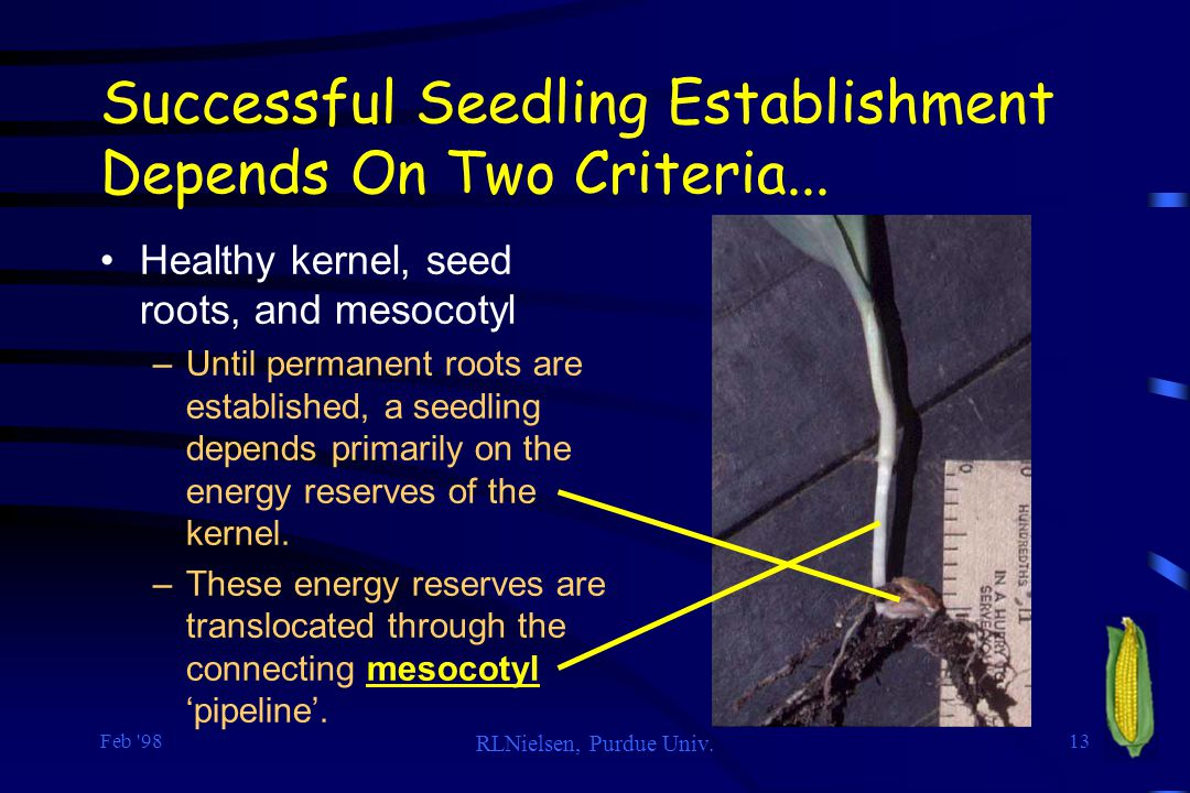 Feb '98 RLNielsen, Purdue Univ. 13 Successful Seedling Establishment Depends On Two Criteria... Healthy kernel, seed roots, and mesocotyl –Until perma