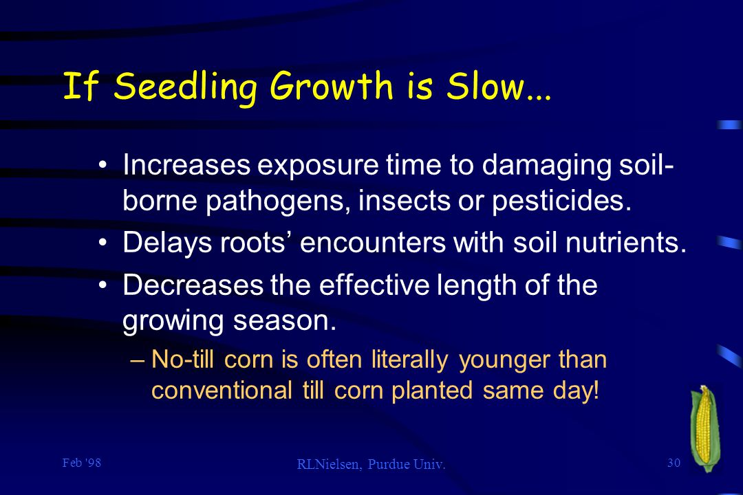 Feb '98 RLNielsen, Purdue Univ. 30 If Seedling Growth is Slow... Increases exposure time to damaging soil- borne pathogens, insects or pesticides. Del