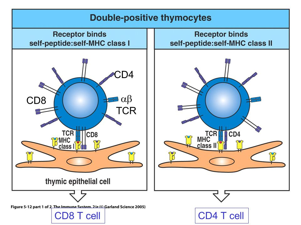 Effects of defined mutations on T cell selection MHC class I deficientNo mature CD8 cells MHC class II deficientNo mature CD4 T cells TAP deficientNo mature CD8 T cells CD8 deficientNo killer cells CD4 deficientNo helper cells CD3 deficientNo T cells RAG deficientNo T cells (or B cells) pT  deficientFew  T cells No thymus (DiGeorge)No T mature cells No thymocytes (ADA - )No T mature cells
