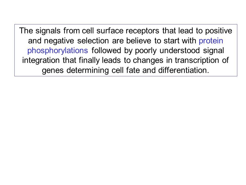 Summary of thymocyte development The major pathway of thymocyte development involves  T cells.