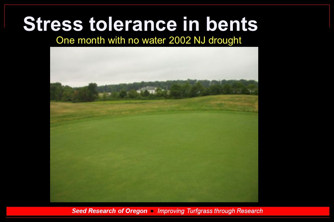 Seed Research of Oregon Improving Turfgrass through Research Stress tolerance in bents One month with no water 2002 NJ drought
