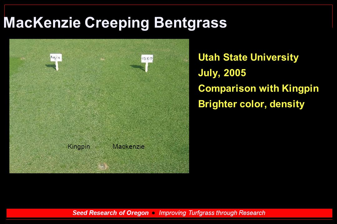 Seed Research of Oregon Improving Turfgrass through Research MacKenzie Creeping Bentgrass Utah State University July, 2005 Comparison with Kingpin Bri