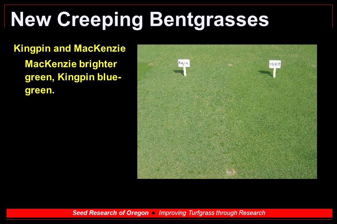 Seed Research of Oregon Improving Turfgrass through Research New Creeping Bentgrasses Kingpin and MacKenzie MacKenzie brighter green, Kingpin blue- gr