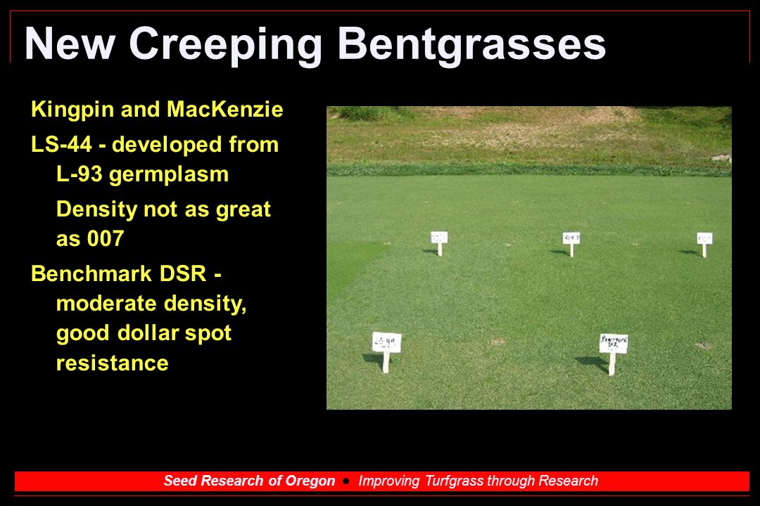 Seed Research of Oregon Improving Turfgrass through Research New Creeping Bentgrasses Kingpin and MacKenzie LS-44 - developed from L-93 germplasm Dens