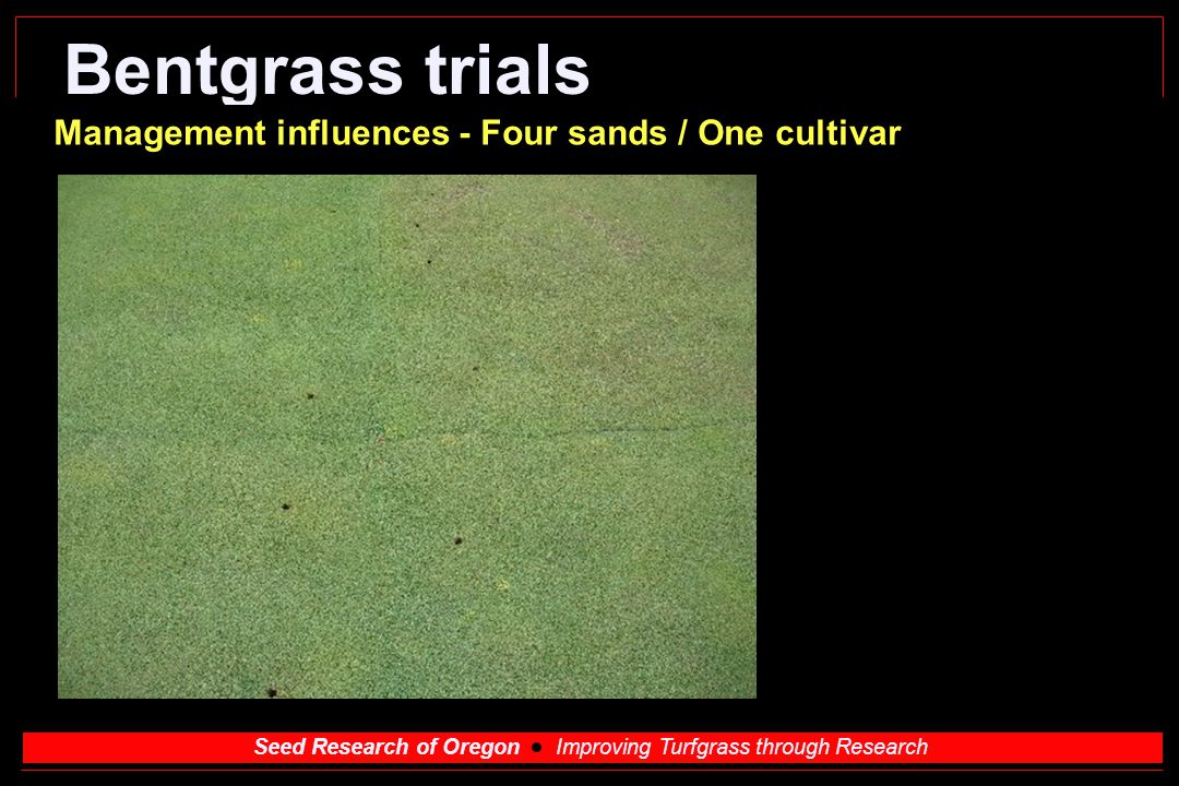 Seed Research of Oregon Improving Turfgrass through Research Bentgrass trials Management influences - Four sands / One cultivar