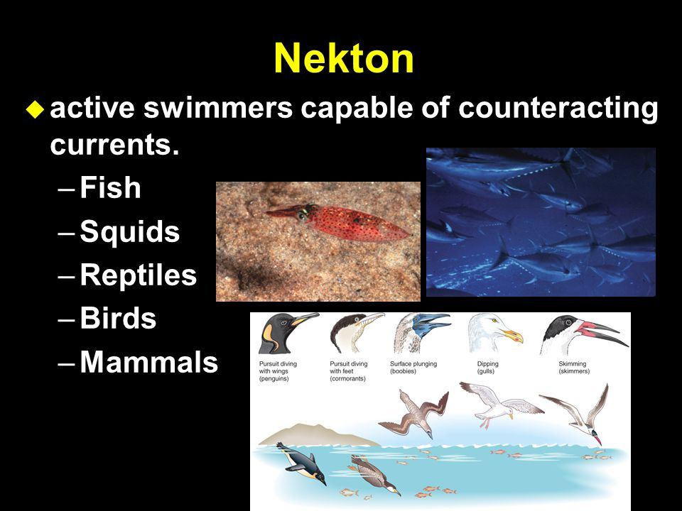 Nekton  active swimmers capable of counteracting currents. –Fish –Squids –Reptiles –Birds –Mammals