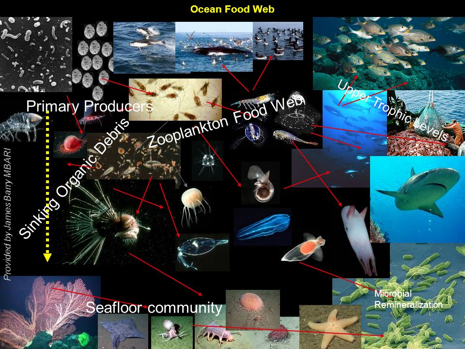 Sinking Organic Debris Present Ocean Food Web – Complex ecosystem interactions based on a low CO 2 ocean MicrobialRemineralization Primary Producers Zooplankton Food Web Upper Trophic Levels Seafloor community Provided by James Barry MBARI Ocean Food Web