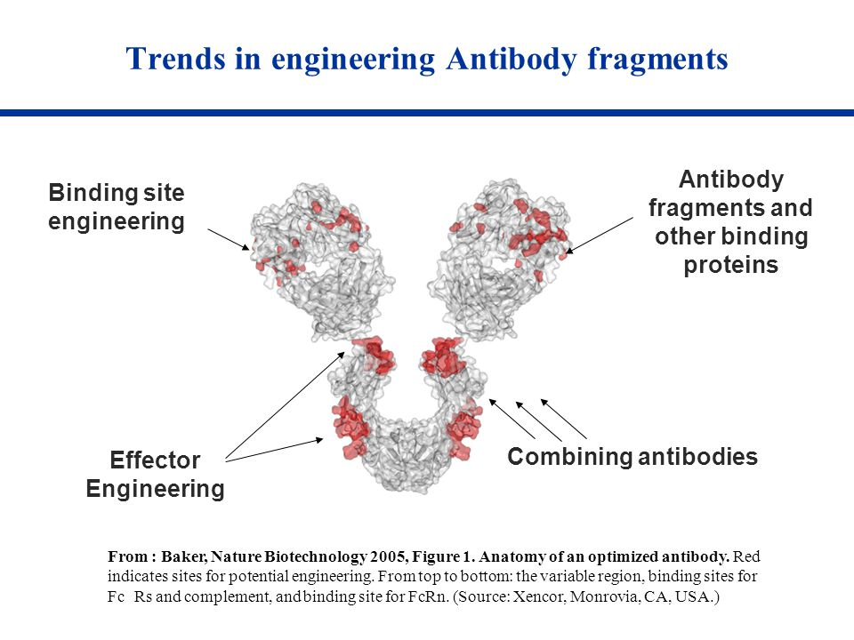 Trends in engineering Antibody fragments From : Baker, Nature Biotechnology 2005, Figure 1. Anatomy of an optimized antibody. Red indicates sites for