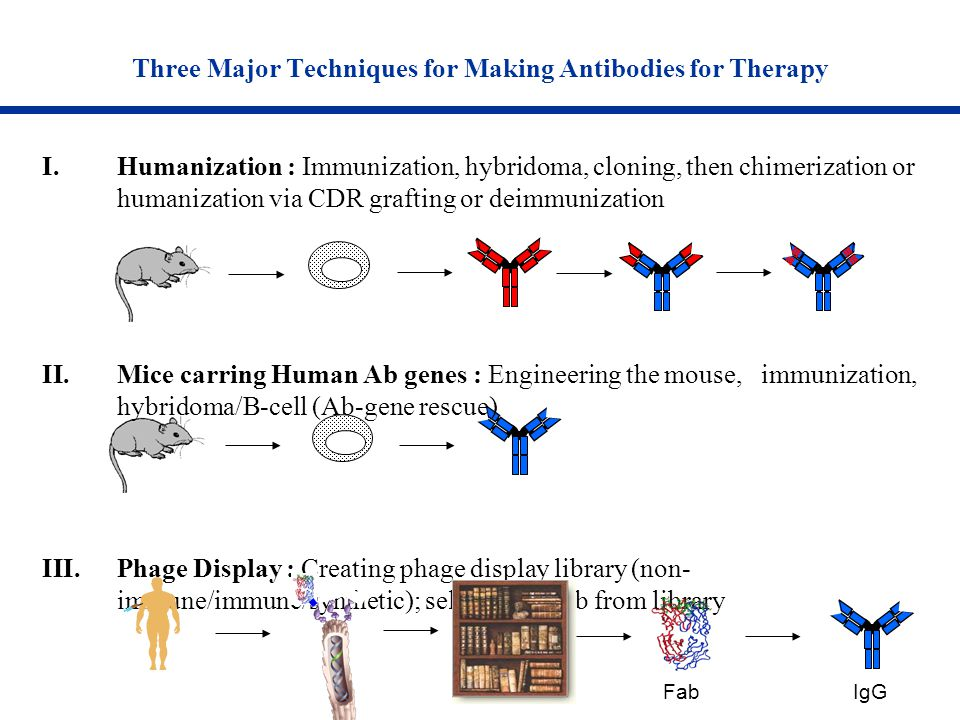 Three Major Techniques for Making Antibodies for Therapy I.Humanization : Immunization, hybridoma, cloning, then chimerization or humanization via CDR