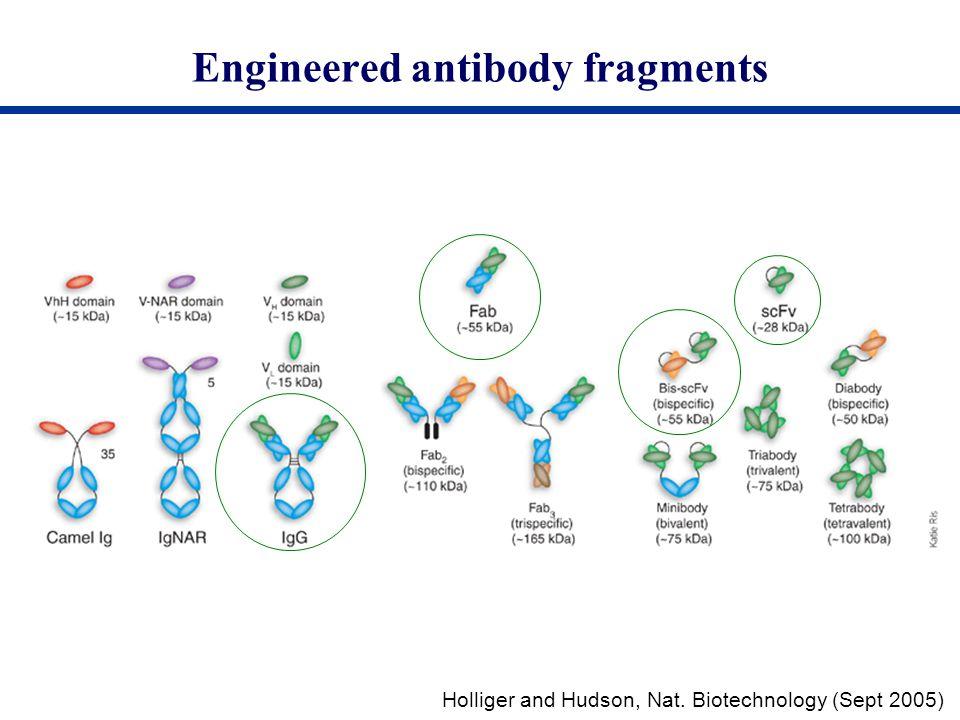 Engineered antibody fragments Holliger and Hudson, Nat. Biotechnology (Sept 2005)