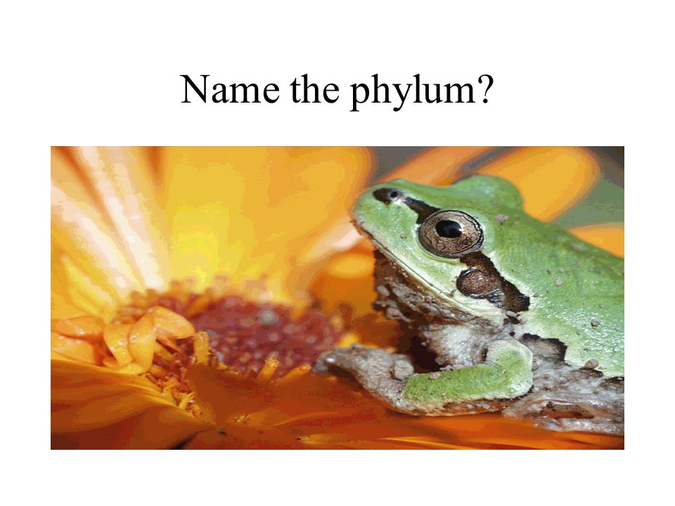 Name the phylum?