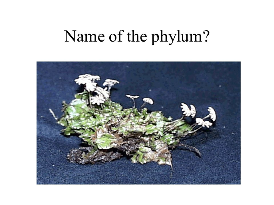 Name of the phylum